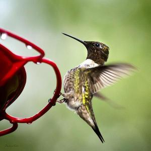 Keep Ants off Hummingbird Feeders