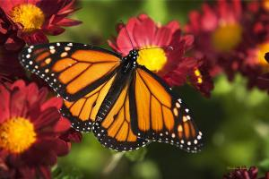 Monarch Butterfly Art